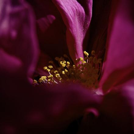 Rosa rugosa, Nikon COOLPIX P340