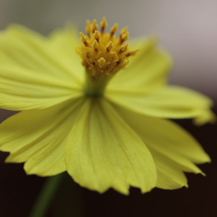 Yellow Flower, Canon EOS 550D