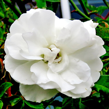 A White Carnation Flower, Canon POWERSHOT SX60 HS, 3.8 - 247.0 mm