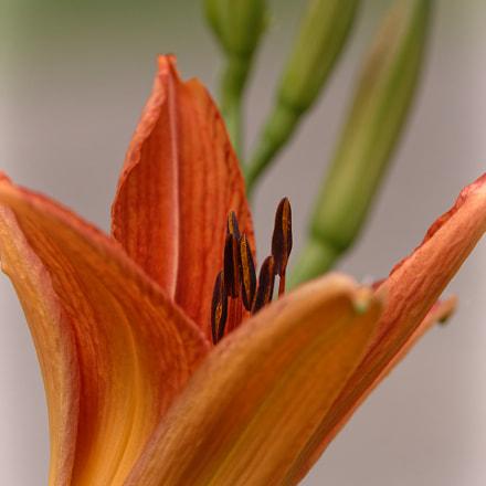Orange Lily, Canon EOS REBEL T6S