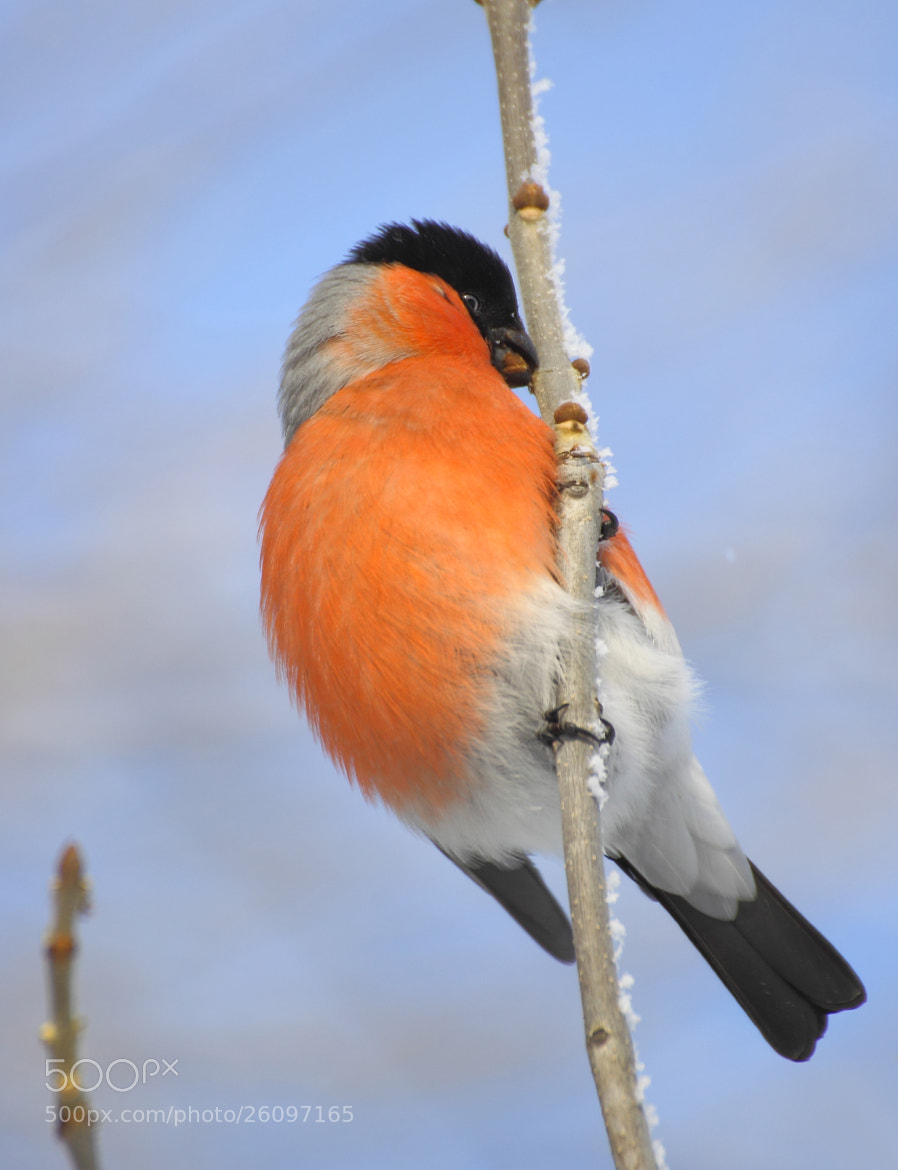 Photograph Bullfinch by The  Walker on 500px