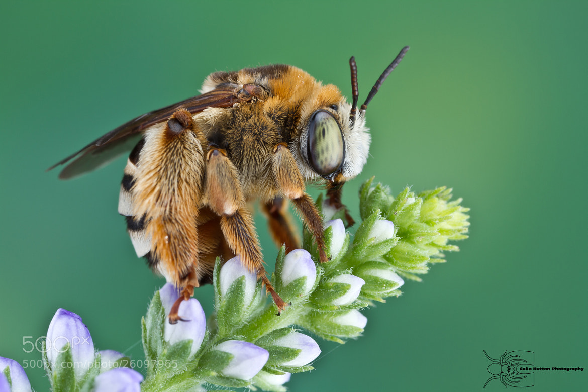 Photograph Long-heroned Bee - Eucerini by Colin Hutton on 500px