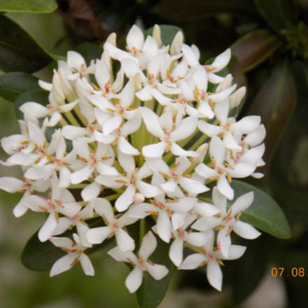 White flowers, Nikon COOLPIX L340