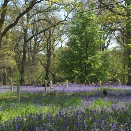 Bluebells, Nuneham Arboretum,Oxford, Fujifilm FinePix S5Pro