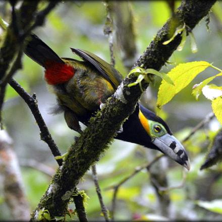 Birds of Brazil- Ara, Nikon D5200