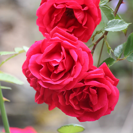 Roses, Canon EOS 2000D