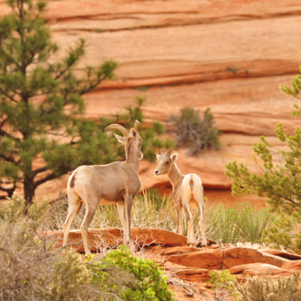 Desert Bighorn Sheep, Nikon D700