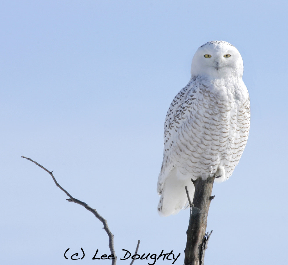 Photograph Snowy Owl by Lee Doughty on 500px