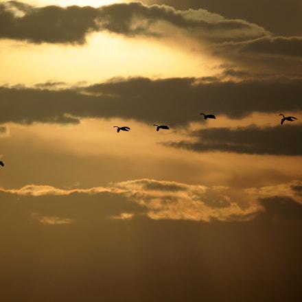 Swans, Canon EOS KISS X3, Tamron SP 35mm f/1.8 Di VC USD + 2x