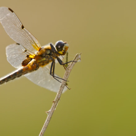 Four-spotted chaser, Canon EOS 7D, Canon EF 70-300mm f/4-5.6L IS USM