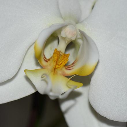 White Orchid, Nikon D7200, AF-S VR Micro-Nikkor 105mm f/2.8G IF-ED