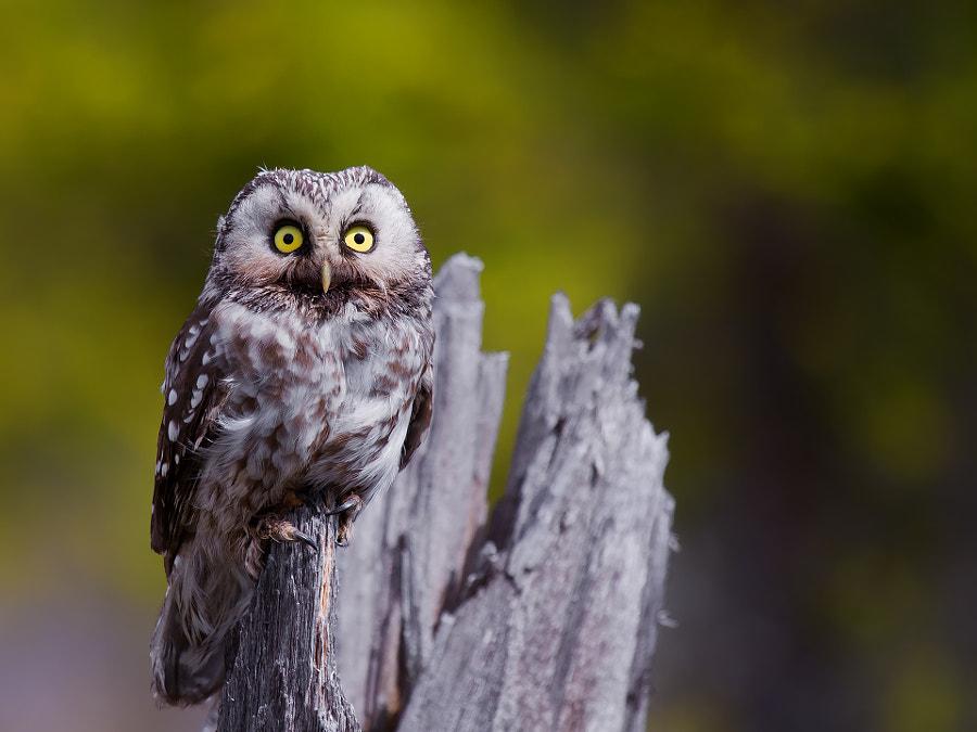 Tengmalm's Owl by Håkon Øvermo on 500px.com