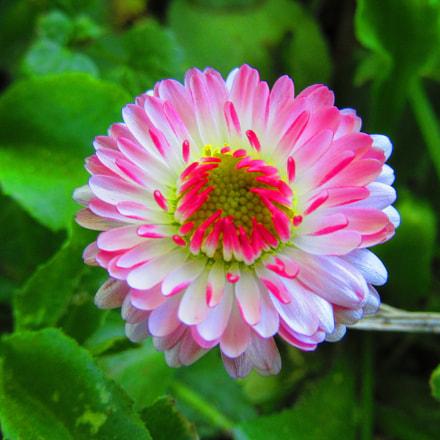 A Pink Daisy, Canon POWERSHOT SX610 HS