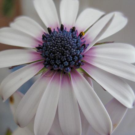 flower macro, Canon DIGITAL IXUS 80 IS