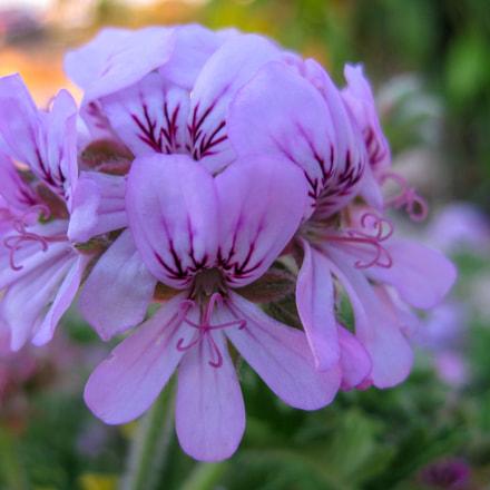 Flowers, Canon DIGITAL IXUS 80 IS