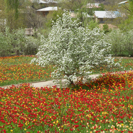 Tulips Garden, Nikon COOLPIX S3100
