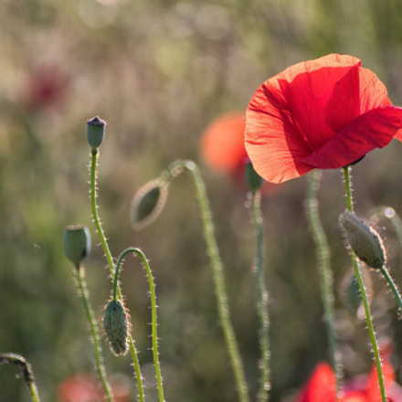 Poppy, Canon EOS 80D, Tamron SP 70-300mm f/4.0-5.6 Di VC USD