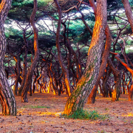 Red pine, Fujifilm FinePix S5Pro