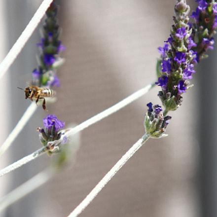 Bee, Canon EOS 70D, Sigma 70-200mm f/2.8 APO EX HSM