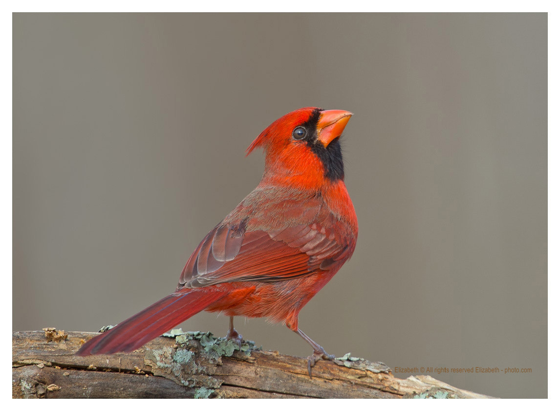 Photograph Northern Cardinal by Elizabeth  E. on 500px