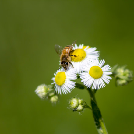 Small Honey Bee, Canon EOS HI