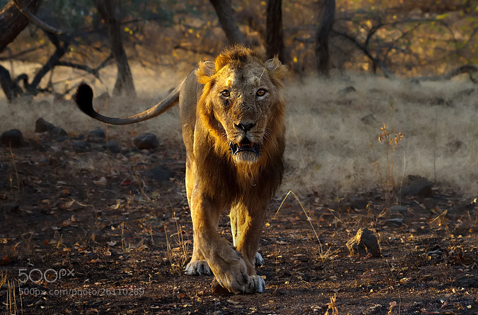 Photograph The King is On The Move by Nitin  Prabhudesai on 500px