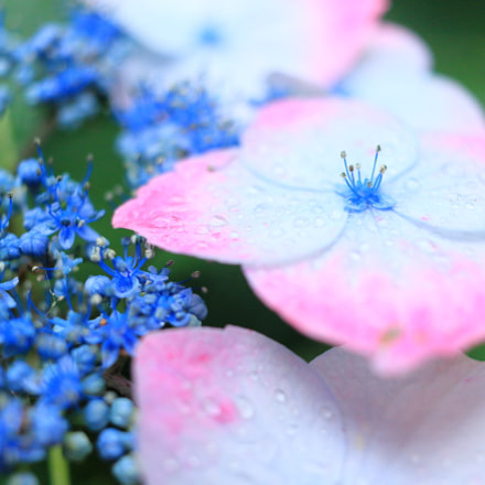 Hydrangea & raindrops, Canon EOS KISS X7, Canon EF-S 24mm f/2.8 STM