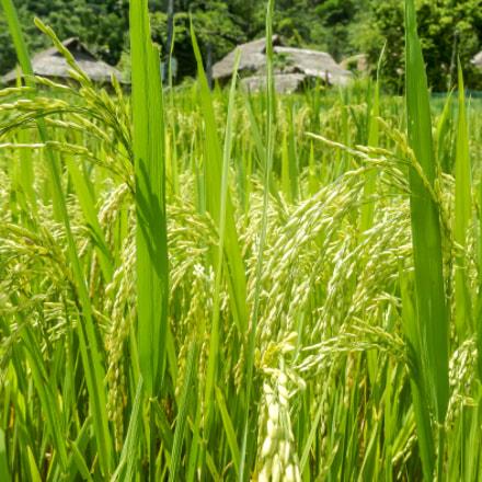 Rice is nice, Nikon COOLPIX AW100