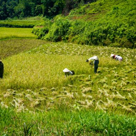 Rice harvest, Nikon COOLPIX AW100