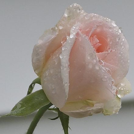 Pink Rose, Nikon D300, AF Zoom-Nikkor 28-105mm f/3.5-4.5D IF