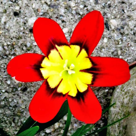 Red And Yellow Flower, Canon POWERSHOT SX60 HS, 3.8 - 247.0 mm