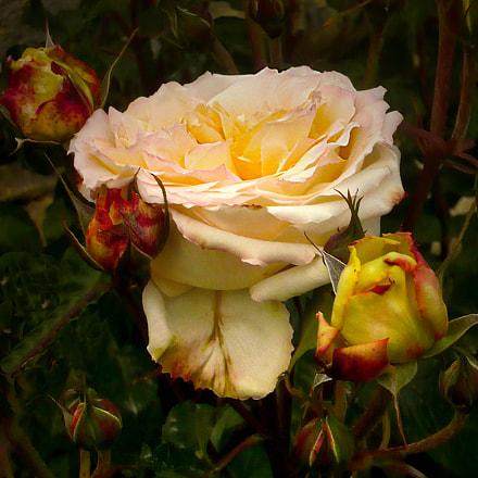 Les roses, Panasonic DMC-LS60