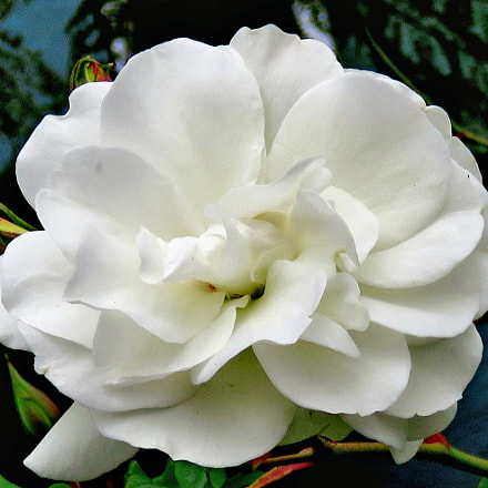 A Lovely White Carnation, Canon POWERSHOT SX60 HS, 3.8 - 247.0 mm