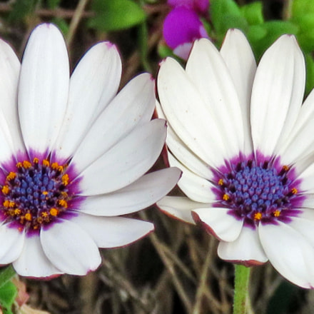 Two White Daisies In, Canon POWERSHOT SX60 HS, 3.8 - 247.0 mm