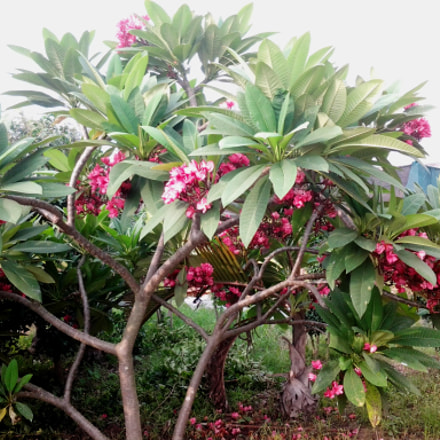 A Plumeria Tree with, Samsung Galaxy Trend Duos