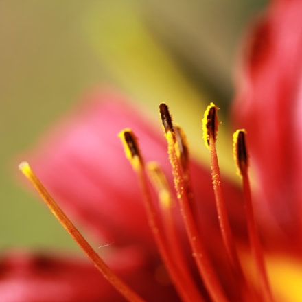 IMG daylily, Canon EOS 60D, Canon EF-S 60mm f/2.8 Macro USM