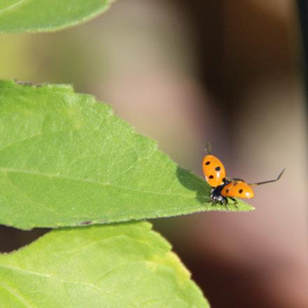 Ladybug - Ready to, Canon EOS 600D, Tamron 18-250mm f/3.5-6.3 Di II LD Aspherical [IF] Macro