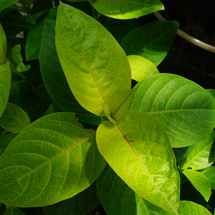 Bali flora, Sony SLT-A99, Sony 28-75mm F2.8 SAM (SAL2875)