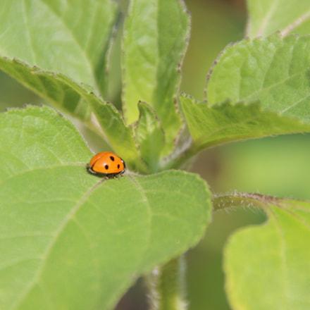 Ladybug on Plant, Canon EOS 600D, Tamron 18-250mm f/3.5-6.3 Di II LD Aspherical [IF] Macro