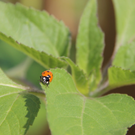Ladybug crawls on plant, Canon EOS 600D, Tamron 18-250mm f/3.5-6.3 Di II LD Aspherical [IF] Macro