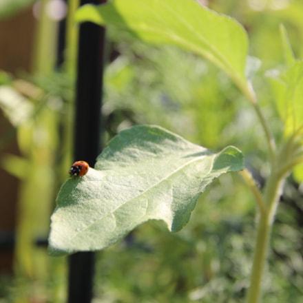 Ladybug crawls, Canon EOS 600D, Tamron 18-250mm f/3.5-6.3 Di II LD Aspherical [IF] Macro
