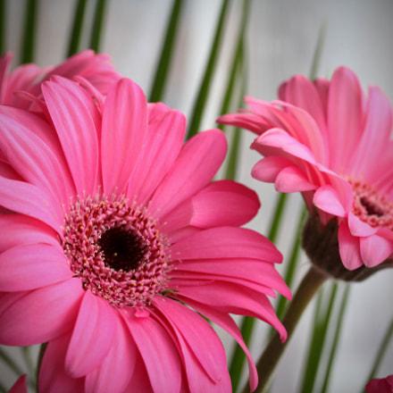 pink gerbera flowers, Canon EOS 60D, Canon EF-S 60mm f/2.8 Macro USM