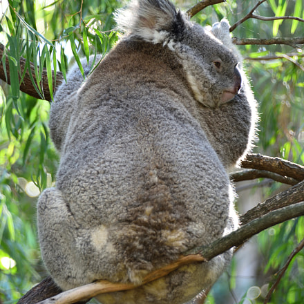 Koala, Nikon D810