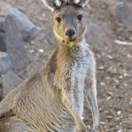 Kangaroo, Nikon D810, AF Zoom-Nikkor 28-200mm f/3.5-5.6G IF-ED