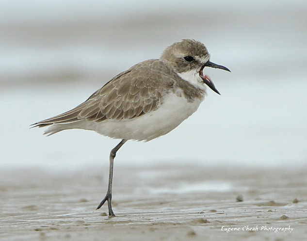 Photograph Kentish Plover yawning by Eugene Cheah on 500px
