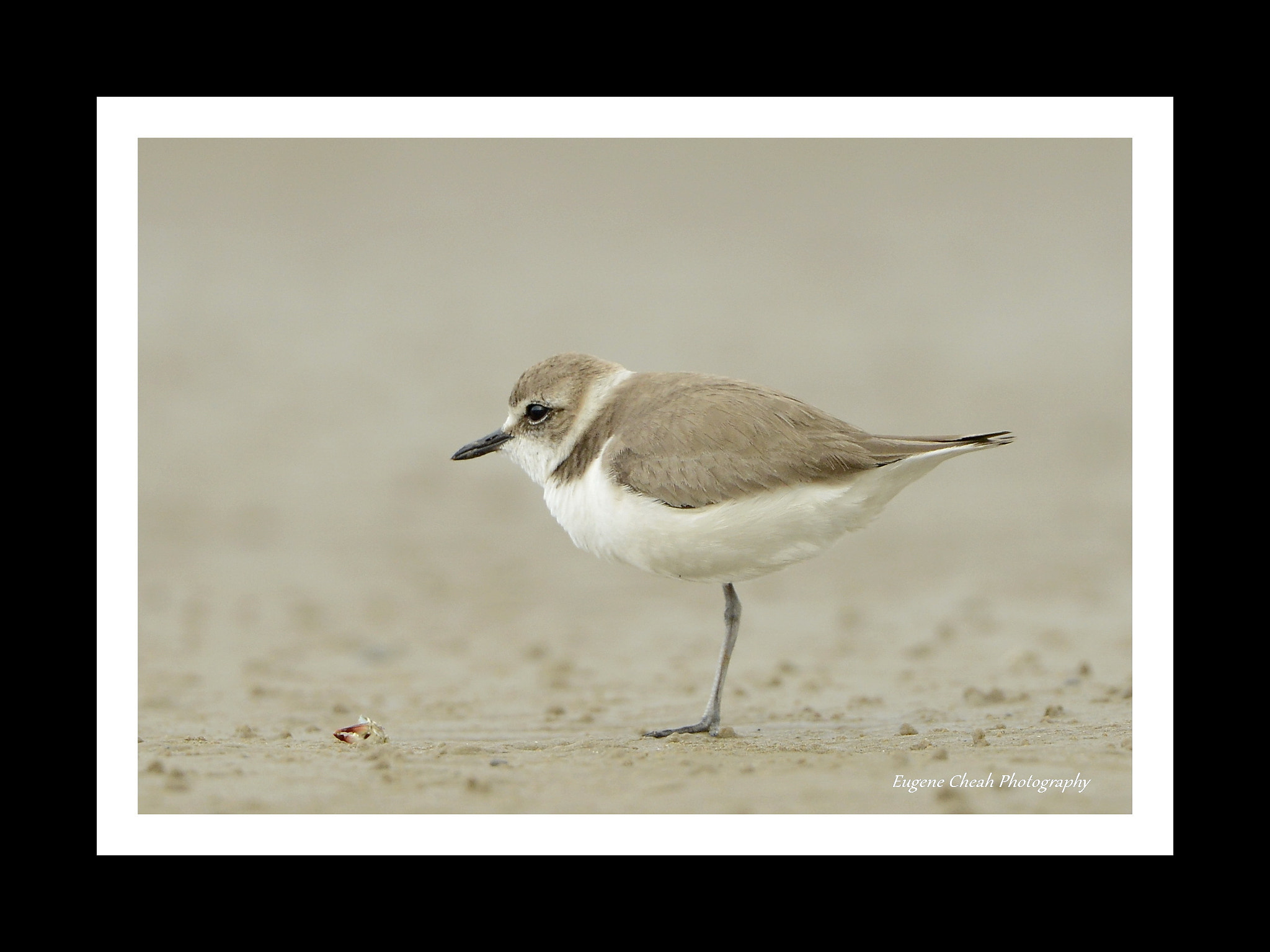 Photograph Kentish plover and crab claw by Eugene Cheah on 500px