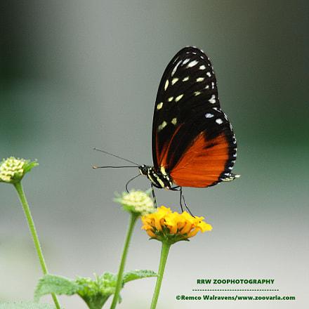 vlinder, Canon EOS 1000D