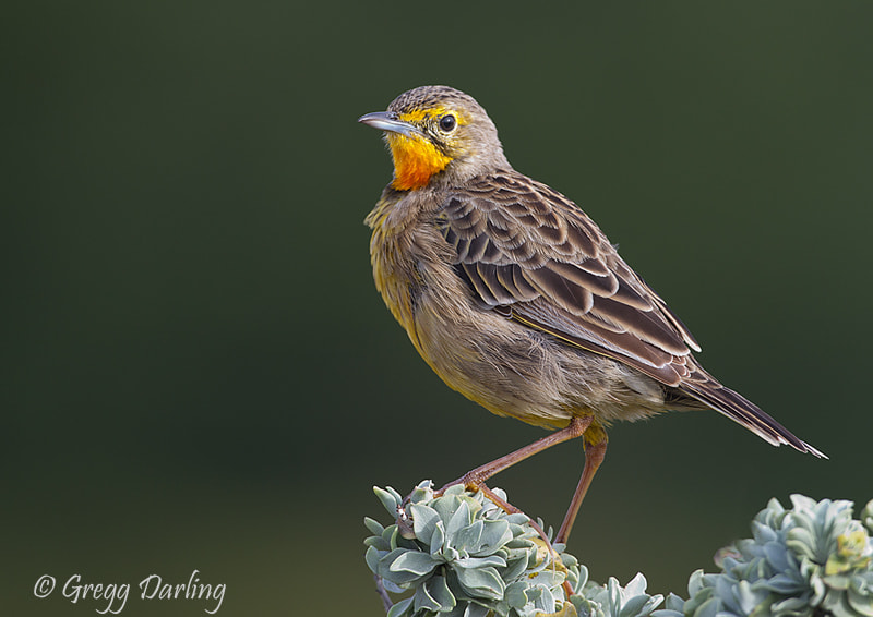 Photograph Cape Longclaw by Gregg Darling on 500px