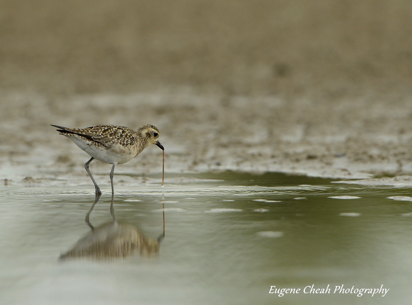 Photograph Pacific Golden Plover by Eugene Cheah on 500px