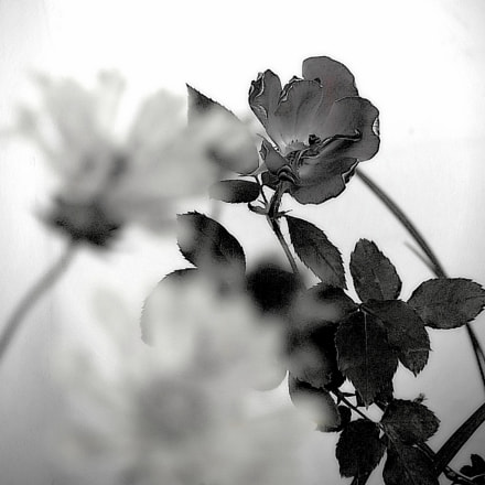 A Rose in the, Canon POWERSHOT G9 X